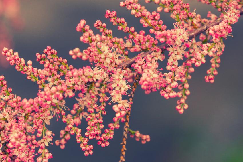 Tamaryszek drobnokwiatowy i zbliżenie na kwiaty, a także uprawa tamaryszku, cięcie krzewu tamaryszku