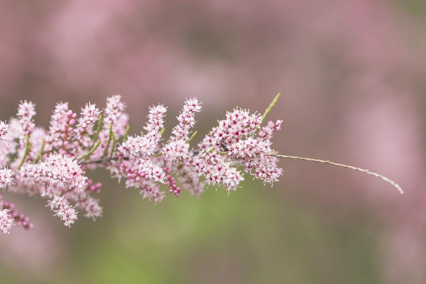 Krzew tamaryszek czteropręcikowy na tle nieba oraz tamaryszek pięciopręcikowy i ich uprawa