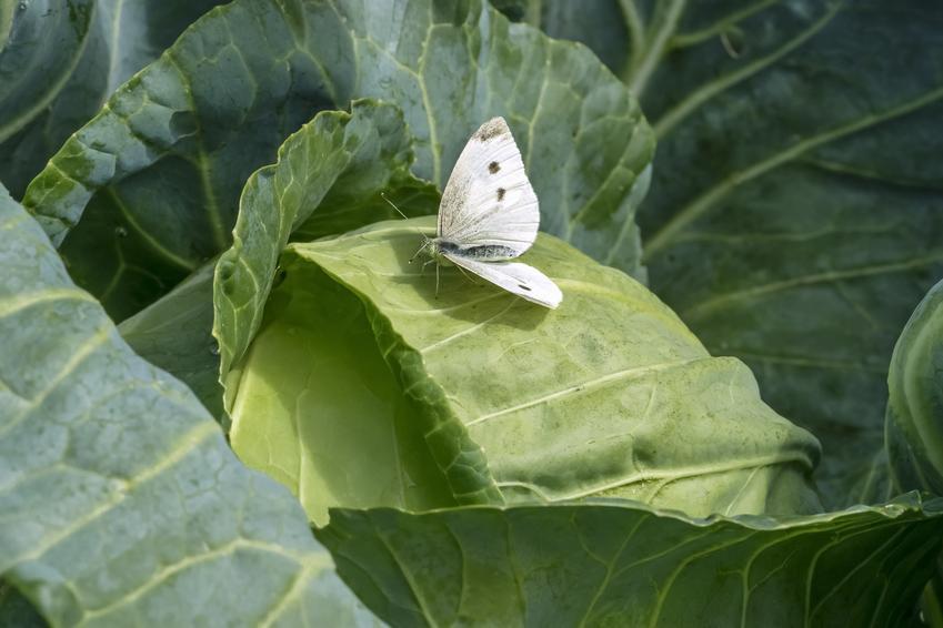 Motyl bielinek na kapuście w ogrodzie, a także bielinek kapustnik, motyl kapustnik i domowe sposoby