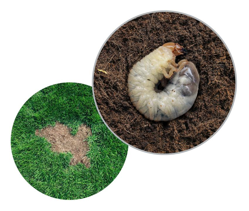 Pędrak i trawnik na białym tle, a także pędraki w trawniku oraz zwalczanie pędraków
