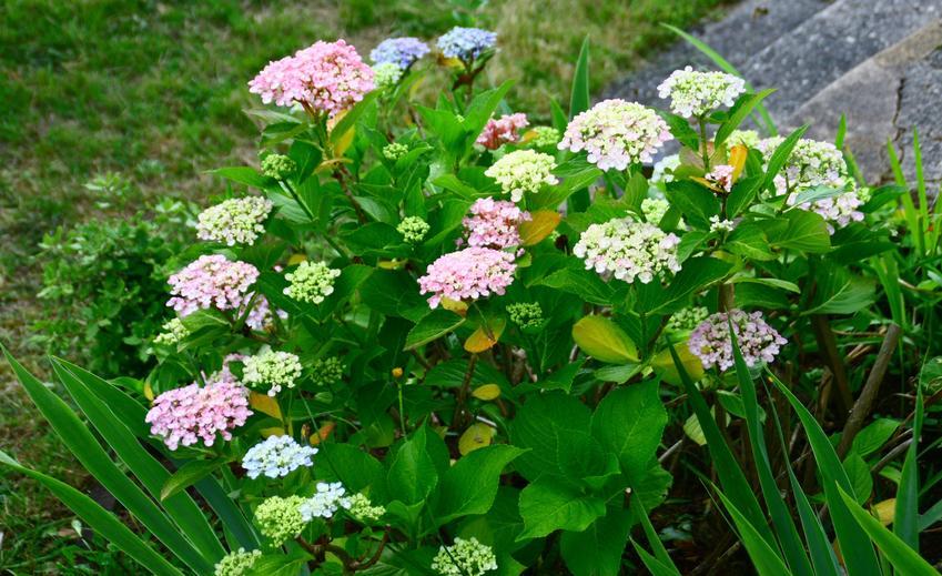 Hortensja kwitnąca w ogrodzie, a także sadzonki hortensji, sadzenie i uprawa w ogrodzie