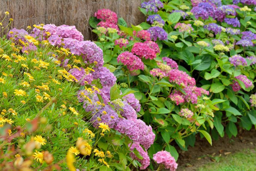 Krzewy hortensji kwitnące w ogrodzie, a także przesadzanie hortensji, rozmnażanie, uprawa i pielęgnacja