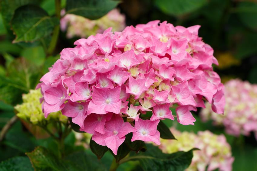 Hortensja ogrodowa i zbliżenie na jej kwiat, a także przesadzanie hortensji, rozmnażanie i pielęgnacja