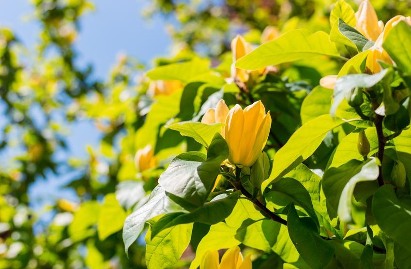 Krzew magnolia yellow bird w czasie kwitnienia na tle nieba, a także jej uprawa i pielęgnacja