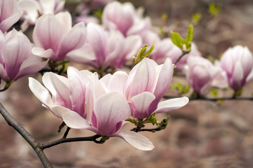 Krzew magnolii i zbliżenie na jego kwiaty, a także ciekawe odmiany magnolii i ich uprawa
