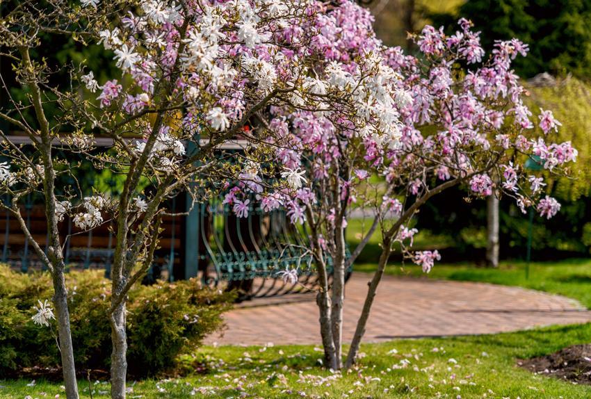 Krzew magnolii w czasie kwitnienia, a także odmiany magnolii, uprawa i sadzenie