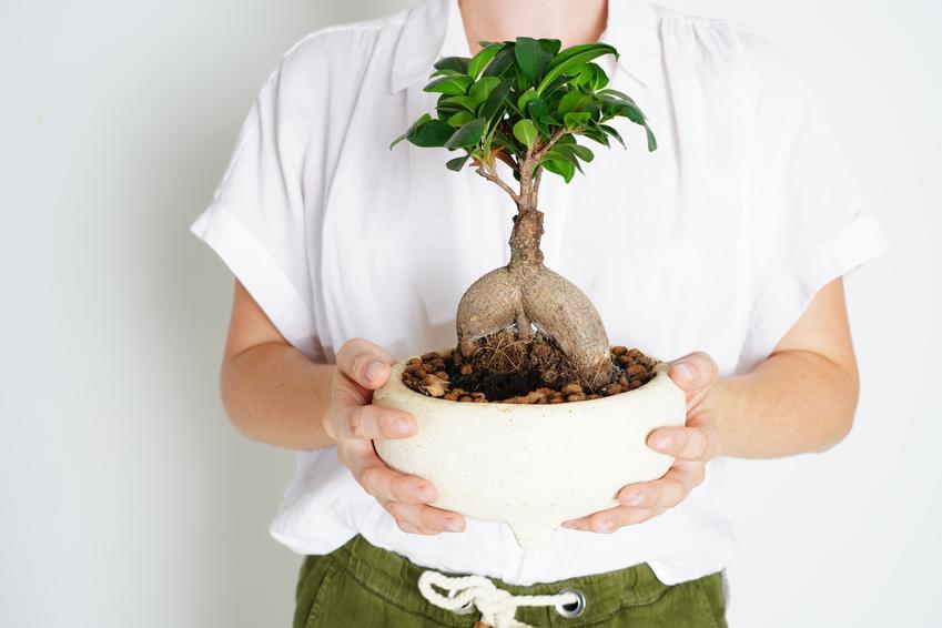 Ficus microcarpa ginseng figowiec tępy trzymany przez kobietę, a także uprawa i podlewanie