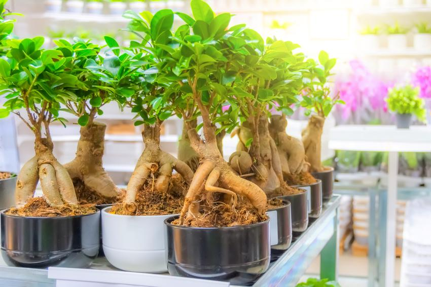 Ficus microcarpa ginseng figowiec tępy w doniczkach w sklepie, a także uprawa i pielęgnacja