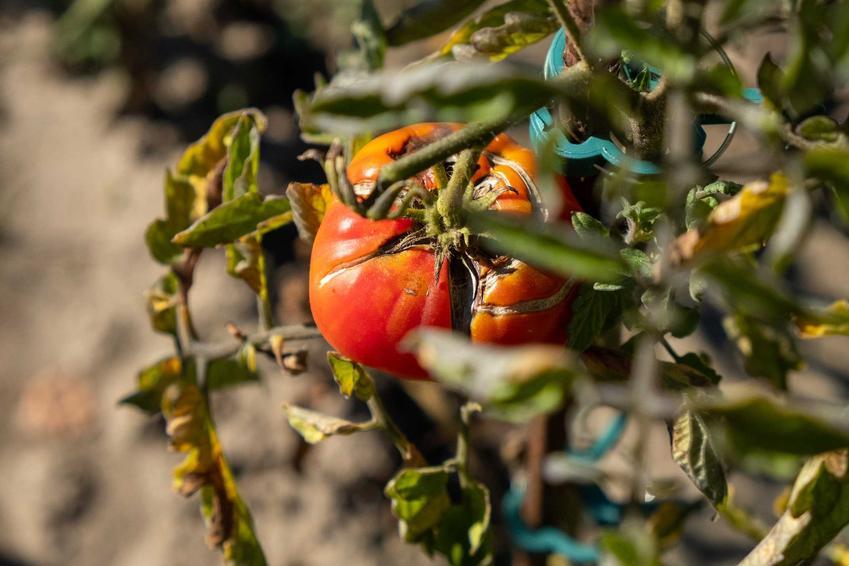 Rak bakteryjny pomidora, a także inne choroby pomidorów, zwalczanie, opryski i środki chemiczne na choroby roślin