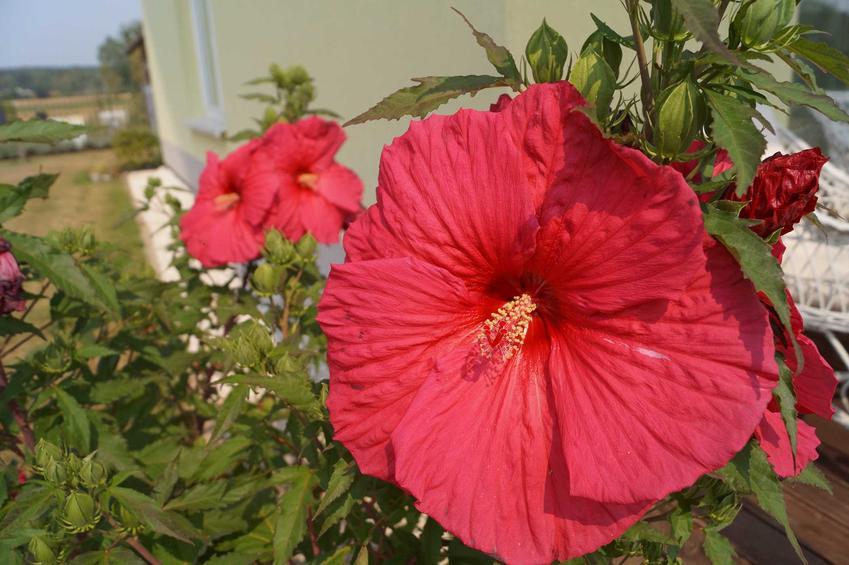 Hibiskus bagienny (ketmia błotna) o czerwonych kwiatach w ogrodzie, a także uprawa, pielęgnacja, wymagania, sadzenie