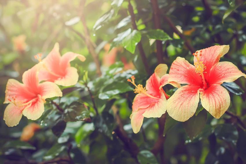 Hibiskus ogrodowy o pomarańczowych kwiatach, a także sadzenie hibiskusa w ogrodzie, pielęgnacja i stanowisko