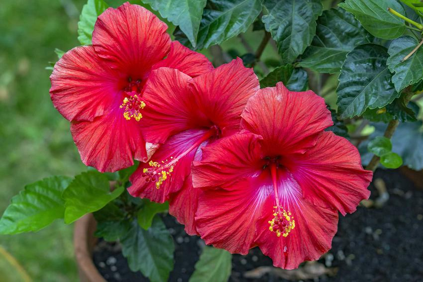 Hibiskus ogrodowy o różowych kwiatach w dużej doniczce, a także pielęgnacja, uprawa, podlewanie, wymagania