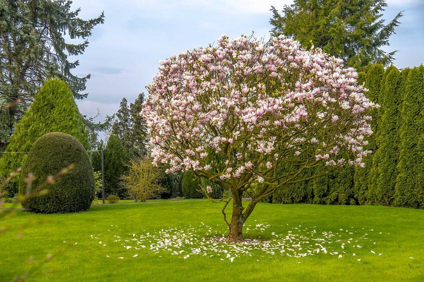 Drzewko magnolii w ogrodzie, a także uprawa, pielęgnacja, sadzenie oraz wymagania