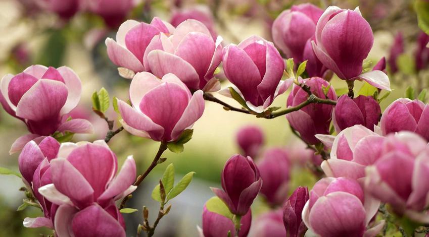 Magnolia w ogrodzie o różowych kwiatach, a także sadzenie, wymagania, pielęgnacja i uprawa krzewu