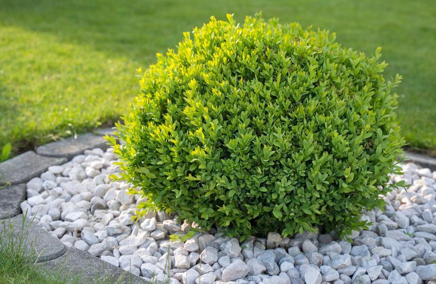 Bukszpan w ogrodzie uformowany w kulę, a także jego sadzenie i uprawa