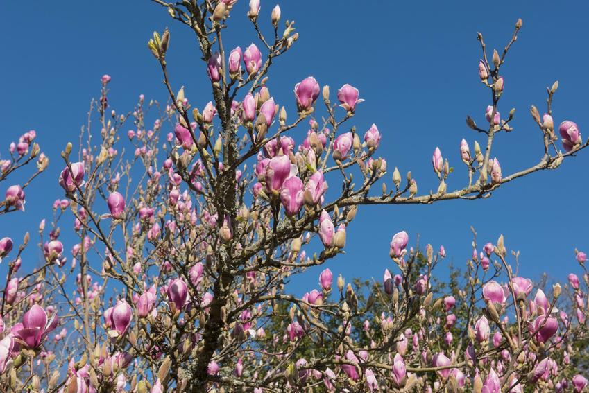 Krzew magnolia pośrednia (magnolia Soulange'a) w czasie kwitnienia na tle nieba, a także jej uprawa i pielęgnacja