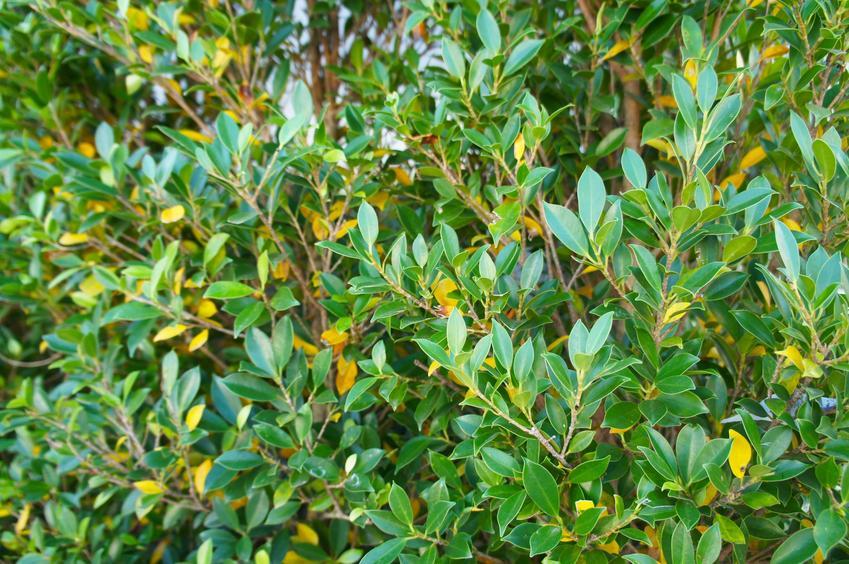 Zielony bukszpan wieczniezielony, buxus sempervirens w ogrodzie, a także jego sadzenie i uprawa