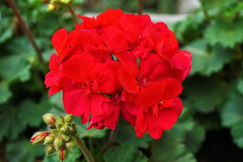 Pelargonia Calliope o dużych czerwonych kwiatach w doniczce, a także jej uprawa, pielęgnacja i porady dla ogrodników