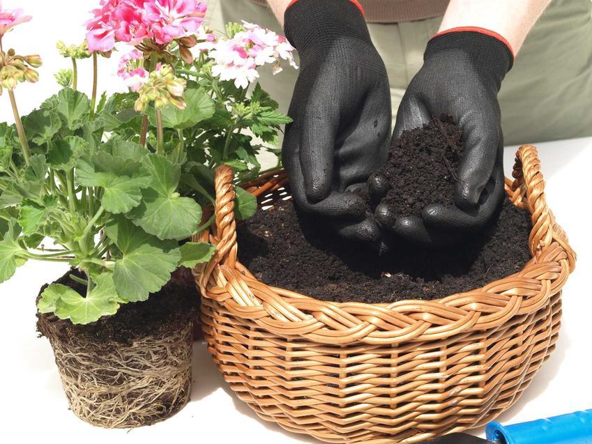 Ziemia do pelargonii w koszyku i sadzonka kwiatu do sadzenia, a także podłoże do pelargonii, skład, odczyn pH, składniki mineralne