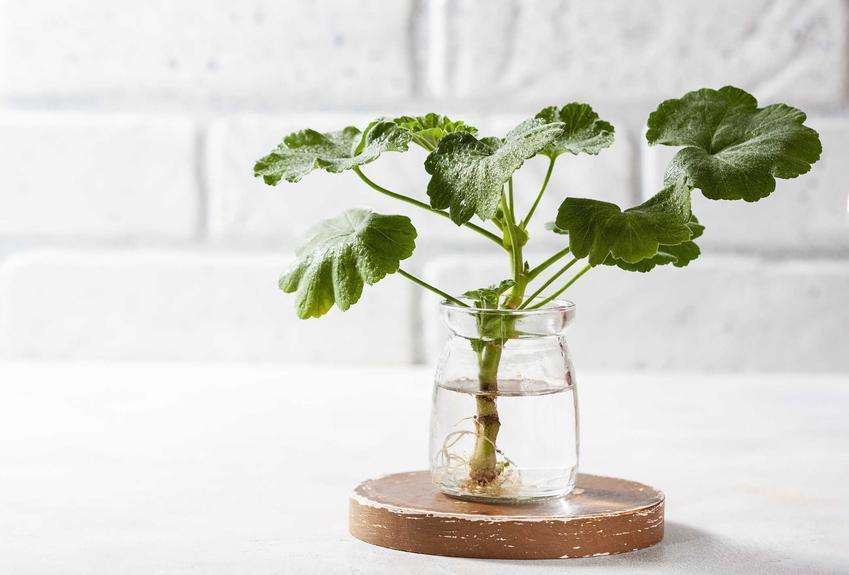 Rozmnażanie pelargonii samodzielnie w domu, a także neiwielkie sadzonki pelargonii, wielkość, cena, zakup