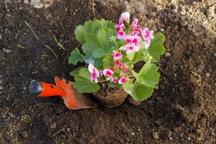 Sadzonka pelargonii o różowych kwiatach sadzona w podłożu przygotowanym wcześniej, a także wybór sadzonek, wielkość, cena, zakup