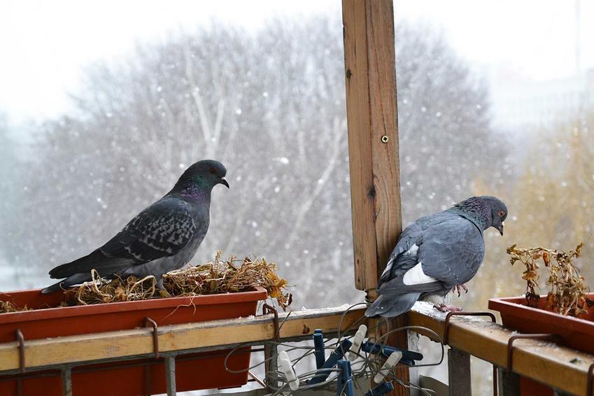Gołębie na balkonie, a także sposoby na odstraszanie gołębi - środki, zapachy, odstraszacze, metody