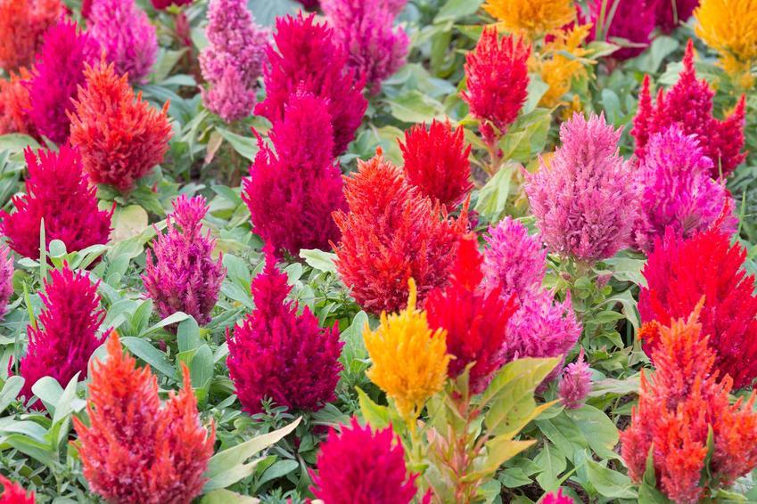Celozja srebrzysta o srebrnych liściach i kolorowych kwiatach, a także wymagania, pielęgnacja rośliny, opis oraz porady krok po kroku