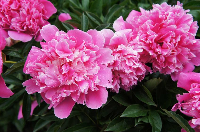 Piwonia w ogrodzie o różowych pełnych kwiatach, a także uprawa, pielęgnacja, popularne gatunki, najlepsze odmiany, porady