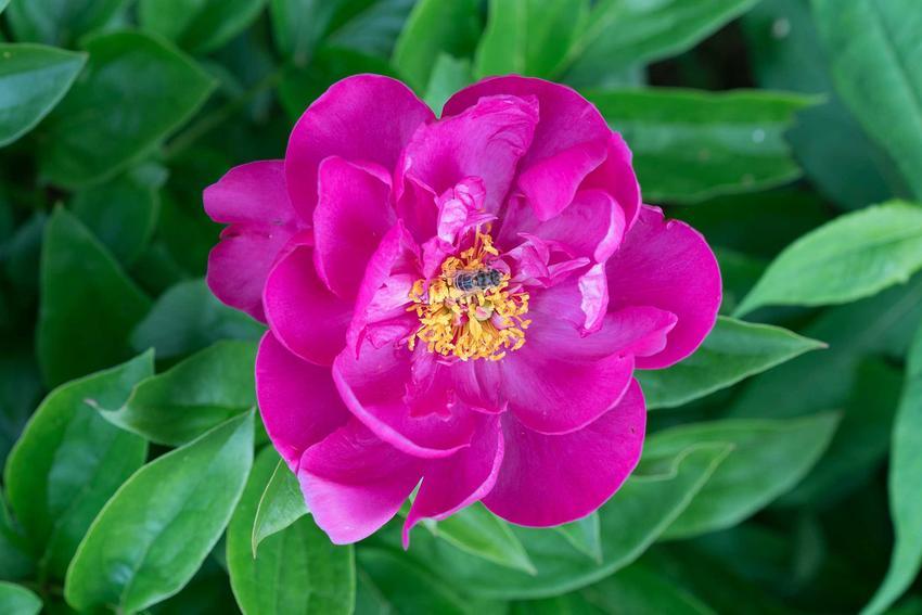 Piękny kwiat piwonii chińskiej na krzewie, a także zastosowanie, sadzenie, uprawa, najlepsze odmiany i wymagania