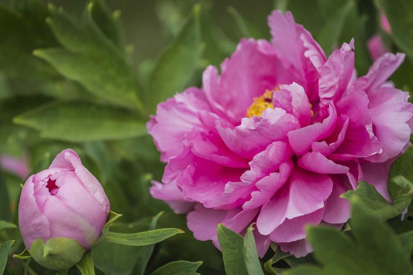 Duży kwiat różowej piwonii lekarskiej rosnącej w ogrodzie, a także zastosowanie lecznicze rośliny, ceny, uprawa, pielęgnacja i wymagani