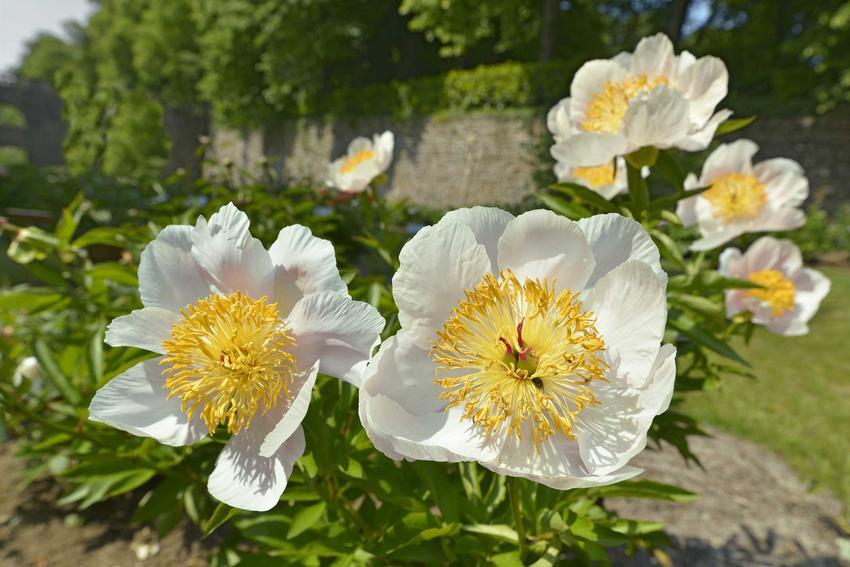Piwonia o białych kwiatach na krzewie rosnącym w ogrodzie, a także informacje o roślinie, właściwości, pielęgnacja, zastosowanie lecznicze oraz uprawa