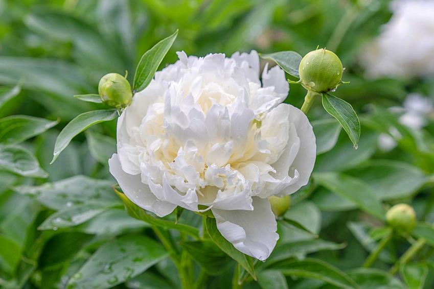 Pełny kwiat białej piwonii krok po kroku, a także właściwości lecznicze, zatosowanie, pielęgnacja oraz uprawa