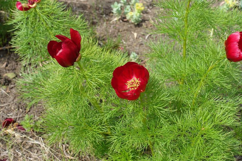 Czerwone kwiaty na tle koperkowych liści, a także piwonia koperkowa w ogrodzie krok po kroku, ceny, sadzenie, sadzonki