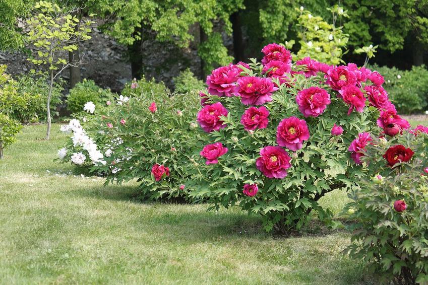 Krzew piwonii w ogordzie, a także informacje, jak i kiedy przesadzać piwonie, najlepszy termin, sadzenie, podłoże, stanowisko
