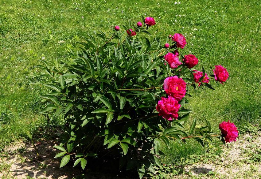 Piwonie o różowych kwiatach w ogrodzie, a także jak i kiedy przesadzać piwonie krok po kroku, sadzenie, sadzonki i rozmnażanie piwoni
