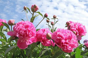 Kiedy Kwitna Piwonie Sprawdz Terminy Kwitnienia Roznych Odmian