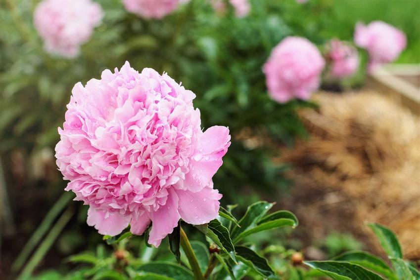 Krzew piwonii o różówym kolorze kwiatów, a także jak i kiedy sadzić piwonie krok po kroku, sadzenie piwonii w pigułce