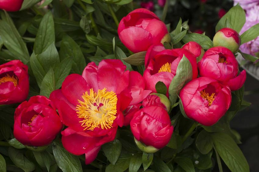 Purpurowe pojedyncze piwonie na krzewie, a także sadzonki piwonii, rodzaje, najważniejsze informacje oraz jakość