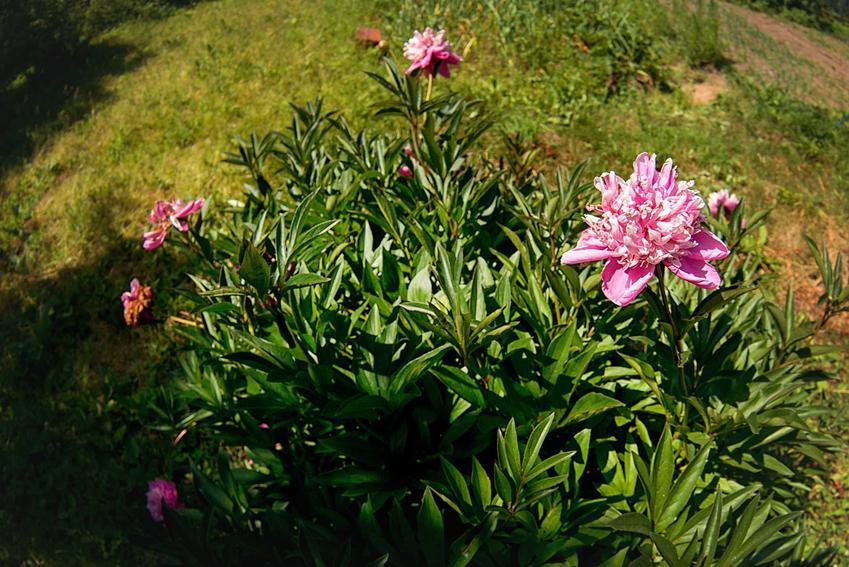 Przew piwonii o różowych kwiatach, a także sadzonki piwonii krok po kroku - odmiany, ceny, rodzaje, najważniejsze informacje, jakość