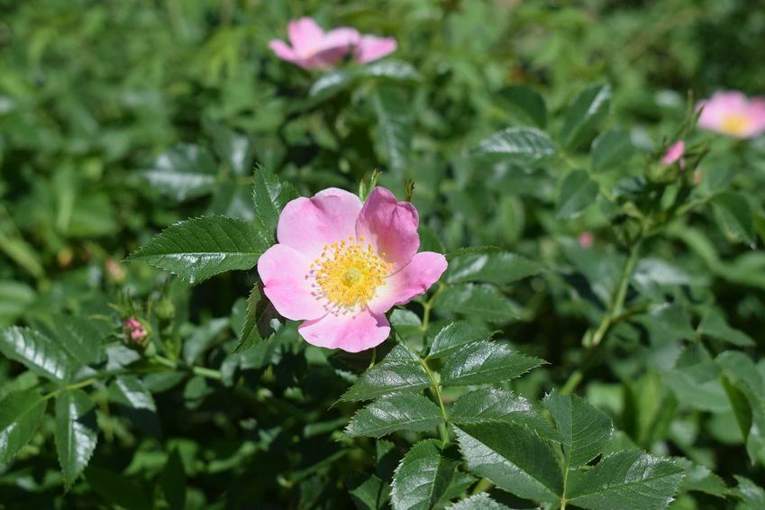 Kwiaty dzikiej róży na niewielkim zielonym krzewie, a także zastosowanie rośliny, właściwości lecznicze, smak i uprawa w ogrodzie