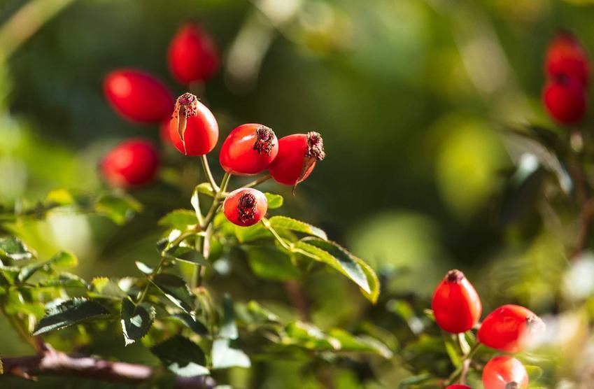 Owoce dzikiej róży na krzewie, a także zastosowanie w kuchni, właściwości zdrowotne, smak, uprawa w ogrodzie i pielęgnacja