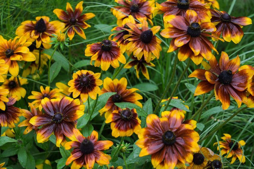 Gailardia i inne najpiękniejsze i polecane kwiaty ogrodowe wieloletnie na działkę i do ogrodu oraz ich uprawa
