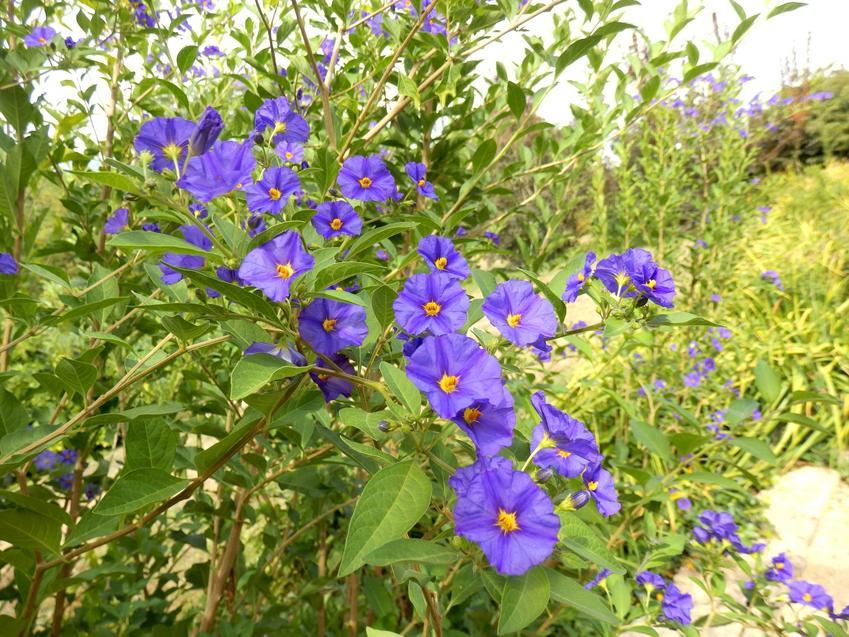 Miecznica i inne najpiękniejsze i polecane kwiaty ogrodowe wieloletnie na działkę i do ogrodu oraz ich uprawa