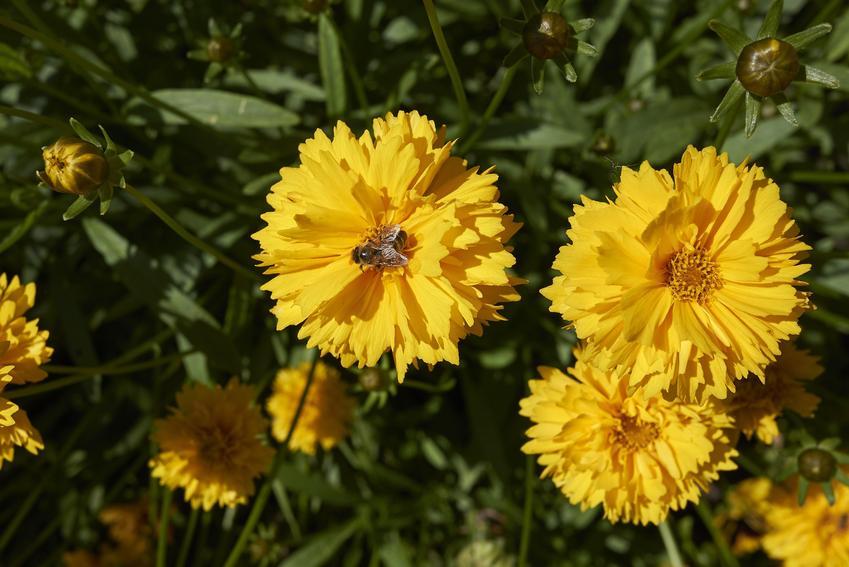 Nachyłek i inne najpiękniejsze i polecane kwiaty ogrodowe wieloletnie na działkę i do ogrodu oraz ich uprawa