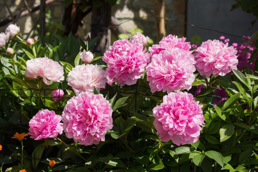 Piwonia chińska i inne najpiękniejsze i polecane kwiaty ogrodowe wieloletnie na działkę i do ogrodu oraz ich uprawa