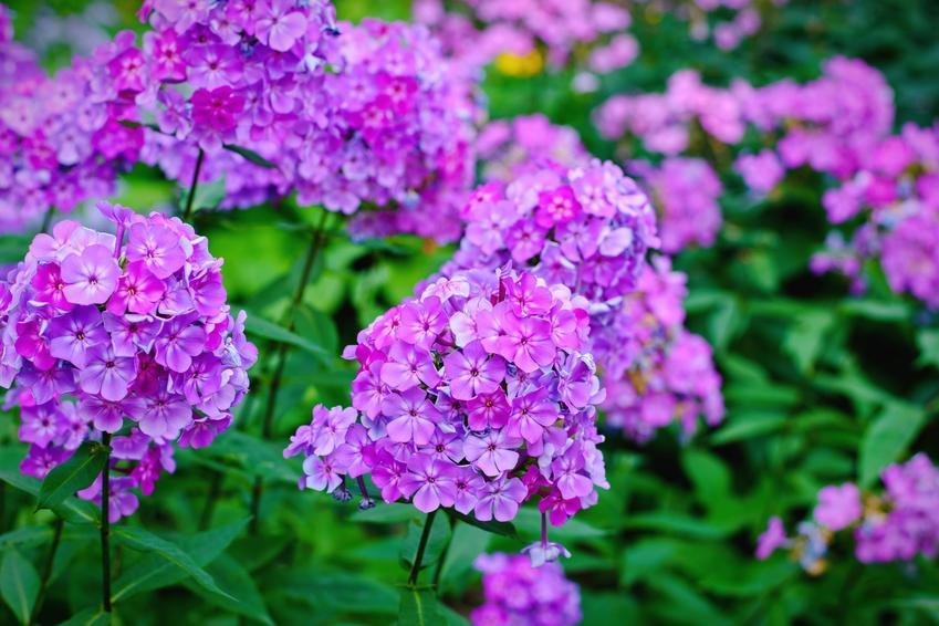 Płomyk i inne najpiękniejsze i polecane kwiaty ogrodowe wieloletnie na działkę i do ogrodu oraz ich uprawa