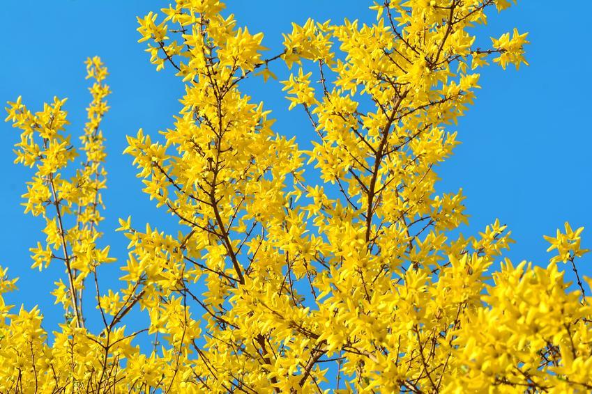 Forsycja w czasie kwtnienia i inne najciekawsze rośliny wiosenne i kwiaty wiosenne do ogrodu w Polsce oraz ich uprawa
