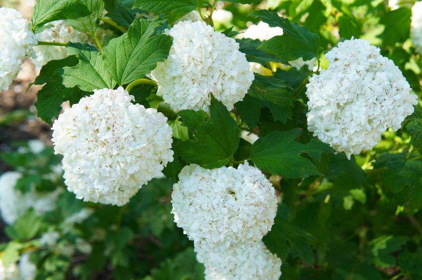 Kalina w czasie kwtnienia i inne najciekawsze rośliny wiosenne i kwiaty wiosenne do ogrodu w Polsce oraz ich uprawa