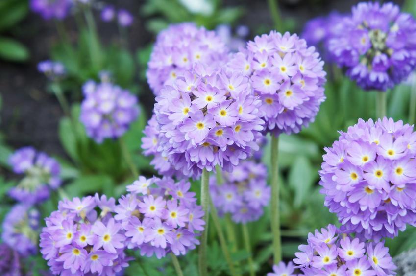 Pierwiosnek w czasie kwtnienia i inne najciekawsze rośliny wiosenne i kwiaty wiosenne do ogrodu w Polsce oraz ich uprawa