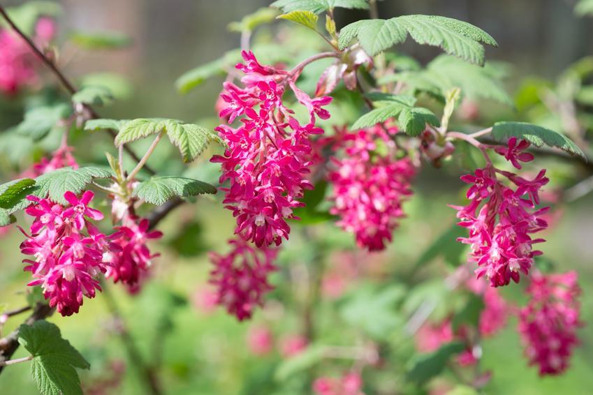 Porzeczka w czasie kwtnienia i inne najciekawsze rośliny wiosenne i kwiaty wiosenne do ogrodu w Polsce oraz ich uprawa